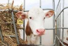 Поголовье растет, количество молока увеличивается