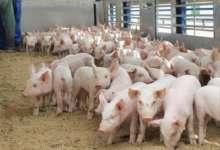 Африканская чума свиней зафиксирована в Татарстане