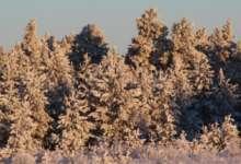 В лесах Карталинского района выявлены случаи незаконной вырубки хвойных молодняков