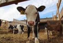 Карталинские фермеры получат гранты на развитие
