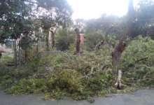 В Карталах провели обрезку деревьев