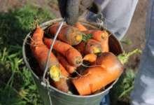 На карталинском огороде морковь уродилась