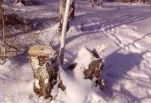 В Карталинском районе выявлена незаконная рубка лесных насаждений