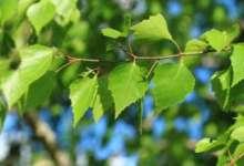 Карталинцы просят спасти деревца