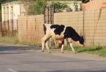 В Карталинском районе за бродячий скот наказывают рублем