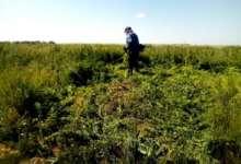 В Карталинском районе уничтожили поля наркотиков