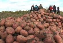 Карталинские школьники собирают выращенный картофель