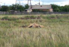 В микрорайоне Карталы-2 спорят из-за мертвой лошади