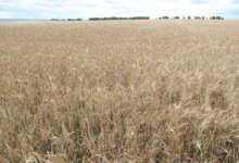 Засуха убила посевы карталинских фермеров