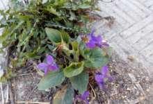 В Карталах первоцветы зацвели