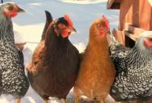 15января – Сильвестров день или Куриный праздник