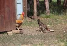 За курицу на даче могут наказать