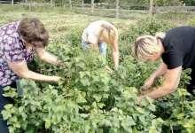 На районном школьном огороде собрали урожай
