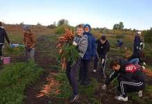 На межшкольном огороде собирают морковь